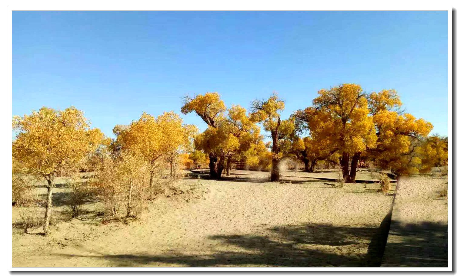胡杨,又称胡桐(汉书)、英雄树、异叶胡杨、异叶杨、水桐、三叶树, 是杨柳科杨属胡杨亚属的一种植物,常生长在沙漠中,它耐寒、耐旱、耐盐碱、抗风沙,有很强的生命力。这是一个神奇的树种,它的生长总是和凤凰与鲜血紧密相连。这是一个多变的树种,春夏为绿色,深秋为黄色,冬天为红色。这是一个坚强的树种,胡杨生而千年不死,死而千年不倒,倒而千年不朽。胡杨是生长在沙漠的唯一乔木树种,且十分珍贵,可以和有植物活化石之称的银杏树相提并论。它曾经广泛分布于中国西部的温带暖温带地区,新疆库车千佛洞、甘肃敦煌铁匠沟、山西平隆等