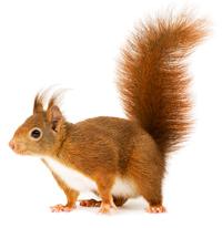 squirrel_PNG15818.png